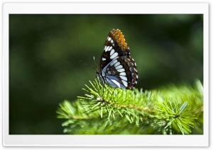Butterfly On Fir Branch HD Wide Wallpaper for 4K UHD Widescreen desktop & smartphone