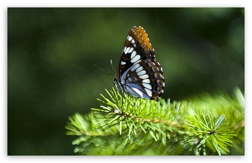 Butterfly On Fir Branch HD wallpaper for Wide 16:10 5:3 Widescreen WHXGA WQXGA WUXGA WXGA WGA ; HD 16:9 High Definition WQHD QWXGA 1080p 900p 720p QHD nHD ; Standard 4:3 5:4 3:2 Fullscreen UXGA XGA SVGA QSXGA SXGA DVGA HVGA HQVGA devices ( Apple PowerBook G4 iPhone 4 3G 3GS iPod Touch ) ; Tablet 1:1 ; iPad 1/2/Mini ; Mobile 4:3 5:3 3:2 16:9 5:4 - UXGA XGA SVGA WGA DVGA HVGA HQVGA devices ( Apple PowerBook G4 iPhone 4 3G 3GS iPod Touch ) WQHD QWXGA 1080p 900p 720p QHD nHD QSXGA SXGA ;