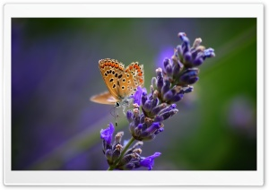 Butterfly On Lavender Flower HD Wide Wallpaper for Widescreen