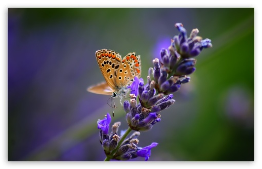 Butterfly On Lavender Flower HD wallpaper for Wide 16:10 5:3 Widescreen WHXGA WQXGA WUXGA WXGA WGA ; HD 16:9 High Definition WQHD QWXGA 1080p 900p 720p QHD nHD ; UHD 16:9 WQHD QWXGA 1080p 900p 720p QHD nHD ; Standard 4:3 5:4 3:2 Fullscreen UXGA XGA SVGA QSXGA SXGA DVGA HVGA HQVGA devices ( Apple PowerBook G4 iPhone 4 3G 3GS iPod Touch ) ; Tablet 1:1 ; iPad 1/2/Mini ; Mobile 4:3 5:3 3:2 16:9 5:4 - UXGA XGA SVGA WGA DVGA HVGA HQVGA devices ( Apple PowerBook G4 iPhone 4 3G 3GS iPod Touch ) WQHD QWXGA 1080p 900p 720p QHD nHD QSXGA SXGA ; Dual 4:3 5:4 UXGA XGA SVGA QSXGA SXGA ;