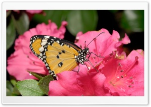 Butterfly On Pink Flower HD Wide Wallpaper for 4K UHD Widescreen desktop & smartphone
