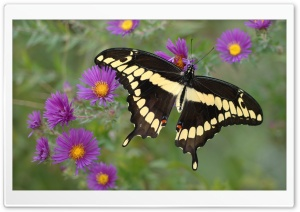 Butterfly on Purple Flower HD Wide Wallpaper for Widescreen