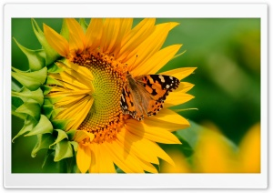 Butterfly on Sunflower HD Wide Wallpaper for 4K UHD Widescreen desktop & smartphone