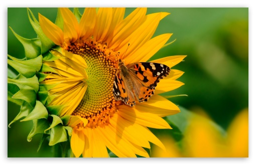 Butterfly on Sunflower HD wallpaper for Standard 4:3 5:4 Fullscreen UXGA XGA SVGA QSXGA SXGA ; Wide 16:10 5:3 Widescreen WHXGA WQXGA WUXGA WXGA WGA ; HD 16:9 High Definition WQHD QWXGA 1080p 900p 720p QHD nHD ; Other 3:2 DVGA HVGA HQVGA devices ( Apple PowerBook G4 iPhone 4 3G 3GS iPod Touch ) ; Mobile VGA WVGA iPhone iPad PSP Phone - VGA QVGA Smartphone ( PocketPC GPS iPod Zune BlackBerry HTC Samsung LG Nokia Eten Asus ) WVGA WQVGA Smartphone ( HTC Samsung Sony Ericsson LG Vertu MIO ) HVGA Smartphone ( Apple iPhone iPod BlackBerry HTC Samsung Nokia ) Sony PSP Zune HD Zen ; Tablet 2 Android ; Dual 4:3 5:4 16:10 5:3 16:9 UXGA XGA SVGA QSXGA SXGA WHXGA WQXGA WUXGA WXGA WGA WQHD QWXGA 1080p 900p 720p QHD nHD ;