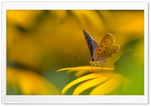 Butterfly On Yellow Flower Macro HD Wide Wallpaper for 4K UHD Widescreen desktop & smartphone