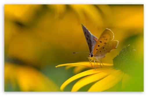 Butterfly On Yellow Flower Macro ❤ 4K UHD Wallpaper for Wide 16:10 5:3 Widescreen WHXGA WQXGA WUXGA WXGA WGA ; 4K UHD 16:9 Ultra High Definition 2160p 1440p 1080p 900p 720p ; Standard 4:3 5:4 3:2 Fullscreen UXGA XGA SVGA QSXGA SXGA DVGA HVGA HQVGA ( Apple PowerBook G4 iPhone 4 3G 3GS iPod Touch ) ; Tablet 1:1 ; iPad 1/2/Mini ; Mobile 4:3 5:3 3:2 16:9 5:4 - UXGA XGA SVGA WGA DVGA HVGA HQVGA ( Apple PowerBook G4 iPhone 4 3G 3GS iPod Touch ) 2160p 1440p 1080p 900p 720p QSXGA SXGA ;