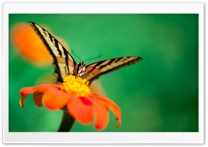 Butterfly, Orange Flower HD Wide Wallpaper for 4K UHD Widescreen desktop & smartphone