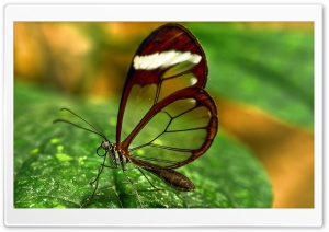 Butterfly With Transparent Wings HD Wide Wallpaper for 4K UHD Widescreen desktop & smartphone