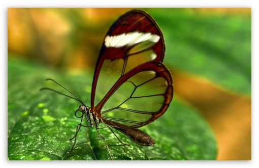 Butterfly With Transparent Wings HD wallpaper for Wide 16:10 5:3 Widescreen WHXGA WQXGA WUXGA WXGA WGA ; HD 16:9 High Definition WQHD QWXGA 1080p 900p 720p QHD nHD ; Standard 4:3 5:4 3:2 Fullscreen UXGA XGA SVGA QSXGA SXGA DVGA HVGA HQVGA devices ( Apple PowerBook G4 iPhone 4 3G 3GS iPod Touch ) ; Tablet 1:1 ; iPad 1/2/Mini ; Mobile 4:3 5:3 3:2 16:9 5:4 - UXGA XGA SVGA WGA DVGA HVGA HQVGA devices ( Apple PowerBook G4 iPhone 4 3G 3GS iPod Touch ) WQHD QWXGA 1080p 900p 720p QHD nHD QSXGA SXGA ;