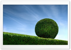 Buxus Boxwood HD Wide Wallpaper for Widescreen