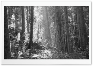 BW Forest Ultra HD Wallpaper for 4K UHD Widescreen desktop, tablet & smartphone