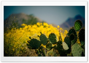 Cactus   Taliesin West, Scottsdale, Arizona HD Wide Wallpaper for Widescreen