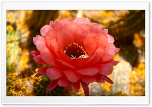 Cactus Blossom HD Wide Wallpaper for Widescreen