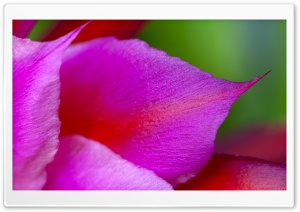 Cactus Flower Petals Macro HD Wide Wallpaper for Widescreen