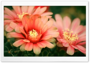 Cactus Flowers HD Wide Wallpaper for Widescreen