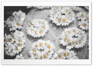 Cactus Flowers Black White Yellow HD Wide Wallpaper for Widescreen