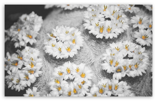 Cactus Flowers Black White Yellow HD wallpaper for Wide 16:10 5:3 Widescreen WHXGA WQXGA WUXGA WXGA WGA ; HD 16:9 High Definition WQHD QWXGA 1080p 900p 720p QHD nHD ; Standard 4:3 5:4 3:2 Fullscreen UXGA XGA SVGA QSXGA SXGA DVGA HVGA HQVGA devices ( Apple PowerBook G4 iPhone 4 3G 3GS iPod Touch ) ; Tablet 1:1 ; iPad 1/2/Mini ; Mobile 4:3 5:3 3:2 16:9 5:4 - UXGA XGA SVGA WGA DVGA HVGA HQVGA devices ( Apple PowerBook G4 iPhone 4 3G 3GS iPod Touch ) WQHD QWXGA 1080p 900p 720p QHD nHD QSXGA SXGA ; Dual 16:10 5:3 16:9 4:3 5:4 WHXGA WQXGA WUXGA WXGA WGA WQHD QWXGA 1080p 900p 720p QHD nHD UXGA XGA SVGA QSXGA SXGA ;