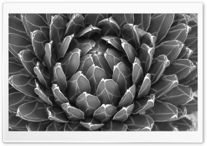 Cactus Plant Black And White HD Wide Wallpaper for Widescreen