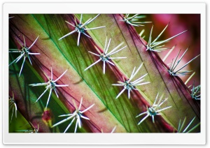 Cactus Thorns HD Wide Wallpaper for Widescreen