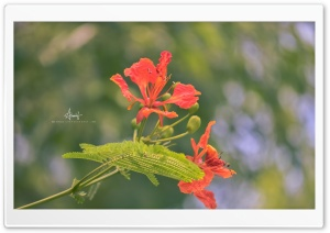 Caesalpinia Pulcherrima HD Wide Wallpaper for 4K UHD Widescreen desktop & smartphone