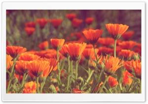 Calendula HD Wide Wallpaper for Widescreen