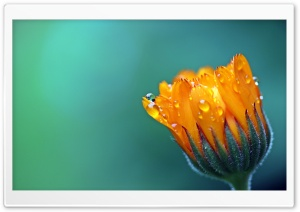 Calendula Marigold Flower HD Wide Wallpaper for Widescreen