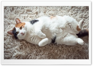 Calico Cat HD Wide Wallpaper for Widescreen