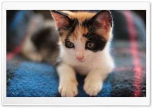 Calico Kitten HD Wide Wallpaper for Widescreen