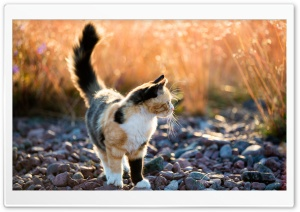 Calico Kitten Outside HD Wide Wallpaper for Widescreen
