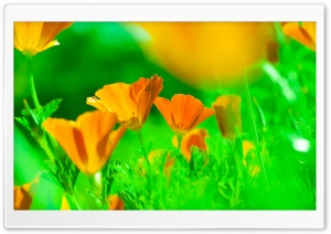 California Poppies HD Wide Wallpaper for Widescreen