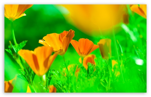 California Poppies UltraHD Wallpaper for Wide 16:10 5:3 Widescreen WHXGA WQXGA WUXGA WXGA WGA ; UltraWide 21:9 24:10 ; 8K UHD TV 16:9 Ultra High Definition 2160p 1440p 1080p 900p 720p ; UHD 16:9 2160p 1440p 1080p 900p 720p ; Standard 4:3 5:4 3:2 Fullscreen UXGA XGA SVGA QSXGA SXGA DVGA HVGA HQVGA ( Apple PowerBook G4 iPhone 4 3G 3GS iPod Touch ) ; Smartphone 16:9 3:2 5:3 2160p 1440p 1080p 900p 720p DVGA HVGA HQVGA ( Apple PowerBook G4 iPhone 4 3G 3GS iPod Touch ) WGA ; Tablet 1:1 ; iPad 1/2/Mini ; Mobile 4:3 5:3 3:2 16:9 5:4 - UXGA XGA SVGA WGA DVGA HVGA HQVGA ( Apple PowerBook G4 iPhone 4 3G 3GS iPod Touch ) 2160p 1440p 1080p 900p 720p QSXGA SXGA ; Dual 16:10 5:3 16:9 4:3 5:4 3:2 WHXGA WQXGA WUXGA WXGA WGA 2160p 1440p 1080p 900p 720p UXGA XGA SVGA QSXGA SXGA DVGA HVGA HQVGA ( Apple PowerBook G4 iPhone 4 3G 3GS iPod Touch ) ; Triple 16:10 5:3 4:3 5:4 3:2 WHXGA WQXGA WUXGA WXGA WGA UXGA XGA SVGA QSXGA SXGA DVGA HVGA HQVGA ( Apple PowerBook G4 iPhone 4 3G 3GS iPod Touch ) ;