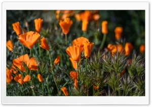California Poppies Field Flowers HD Wide Wallpaper for Widescreen