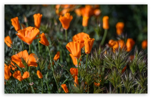California Poppies Field Flowers ❤ 4K UHD Wallpaper for Wide 16:10 5:3 Widescreen WHXGA WQXGA WUXGA WXGA WGA ; UltraWide 21:9 24:10 ; 4K UHD 16:9 Ultra High Definition 2160p 1440p 1080p 900p 720p ; UHD 16:9 2160p 1440p 1080p 900p 720p ; Standard 4:3 5:4 3:2 Fullscreen UXGA XGA SVGA QSXGA SXGA DVGA HVGA HQVGA ( Apple PowerBook G4 iPhone 4 3G 3GS iPod Touch ) ; Smartphone 16:9 3:2 5:3 2160p 1440p 1080p 900p 720p DVGA HVGA HQVGA ( Apple PowerBook G4 iPhone 4 3G 3GS iPod Touch ) WGA ; Tablet 1:1 ; iPad 1/2/Mini ; Mobile 4:3 5:3 3:2 16:9 5:4 - UXGA XGA SVGA WGA DVGA HVGA HQVGA ( Apple PowerBook G4 iPhone 4 3G 3GS iPod Touch ) 2160p 1440p 1080p 900p 720p QSXGA SXGA ;