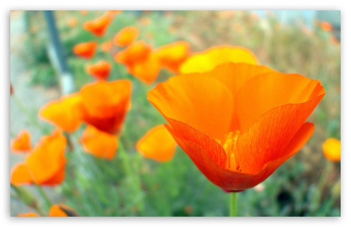 California Poppies UCR Botanic Gardens Riverside California ❤ 4K UHD Wallpaper for Wide 16:10 5:3 Widescreen WHXGA WQXGA WUXGA WXGA WGA ; 4K UHD 16:9 Ultra High Definition 2160p 1440p 1080p 900p 720p ; Standard 4:3 5:4 3:2 Fullscreen UXGA XGA SVGA QSXGA SXGA DVGA HVGA HQVGA ( Apple PowerBook G4 iPhone 4 3G 3GS iPod Touch ) ; Tablet 1:1 ; iPad 1/2/Mini ; Mobile 4:3 5:3 3:2 16:9 5:4 - UXGA XGA SVGA WGA DVGA HVGA HQVGA ( Apple PowerBook G4 iPhone 4 3G 3GS iPod Touch ) 2160p 1440p 1080p 900p 720p QSXGA SXGA ;