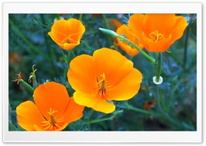 California Poppy Closeup HD Wide Wallpaper for Widescreen
