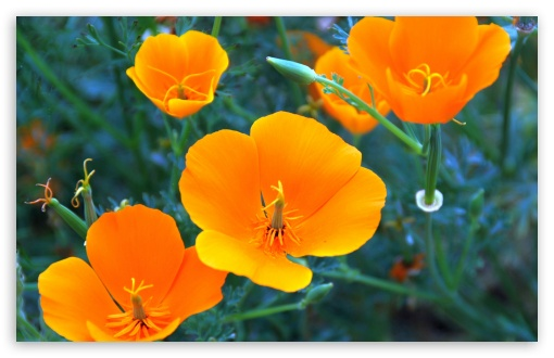 California Poppy Closeup ❤ 4K UHD Wallpaper for Wide 16:10 5:3 Widescreen WHXGA WQXGA WUXGA WXGA WGA ; 4K UHD 16:9 Ultra High Definition 2160p 1440p 1080p 900p 720p ; Standard 4:3 5:4 3:2 Fullscreen UXGA XGA SVGA QSXGA SXGA DVGA HVGA HQVGA ( Apple PowerBook G4 iPhone 4 3G 3GS iPod Touch ) ; Smartphone 5:3 WGA ; Tablet 1:1 ; iPad 1/2/Mini ; Mobile 4:3 5:3 3:2 16:9 5:4 - UXGA XGA SVGA WGA DVGA HVGA HQVGA ( Apple PowerBook G4 iPhone 4 3G 3GS iPod Touch ) 2160p 1440p 1080p 900p 720p QSXGA SXGA ;