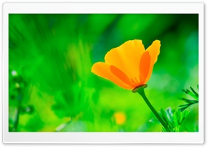 California Poppy, Green Background HD Wide Wallpaper for Widescreen
