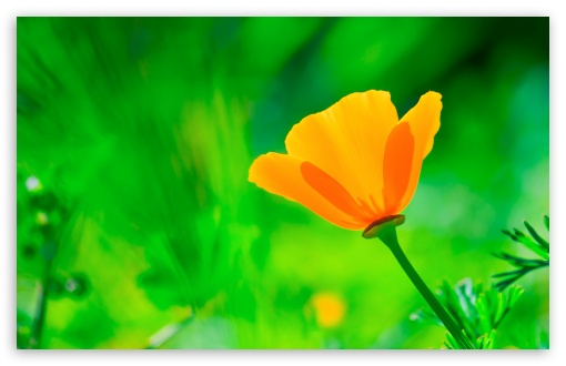 California Poppy, Green Background ❤ 4K UHD Wallpaper for Wide 16:10 5:3 Widescreen WHXGA WQXGA WUXGA WXGA WGA ; 4K UHD 16:9 Ultra High Definition 2160p 1440p 1080p 900p 720p ; Standard 4:3 5:4 3:2 Fullscreen UXGA XGA SVGA QSXGA SXGA DVGA HVGA HQVGA ( Apple PowerBook G4 iPhone 4 3G 3GS iPod Touch ) ; Smartphone 16:9 3:2 5:3 2160p 1440p 1080p 900p 720p DVGA HVGA HQVGA ( Apple PowerBook G4 iPhone 4 3G 3GS iPod Touch ) WGA ; Tablet 1:1 ; iPad 1/2/Mini ; Mobile 4:3 5:3 3:2 16:9 5:4 - UXGA XGA SVGA WGA DVGA HVGA HQVGA ( Apple PowerBook G4 iPhone 4 3G 3GS iPod Touch ) 2160p 1440p 1080p 900p 720p QSXGA SXGA ;