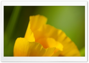 California Poppy Macro HD Wide Wallpaper for Widescreen