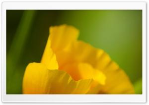 California Poppy Macro Ultra HD Wallpaper for 4K UHD Widescreen desktop, tablet & smartphone