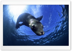 California Sealion HD Wide Wallpaper for 4K UHD Widescreen desktop & smartphone