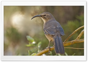 California Thrasher Bird HD Wide Wallpaper for 4K UHD Widescreen desktop & smartphone