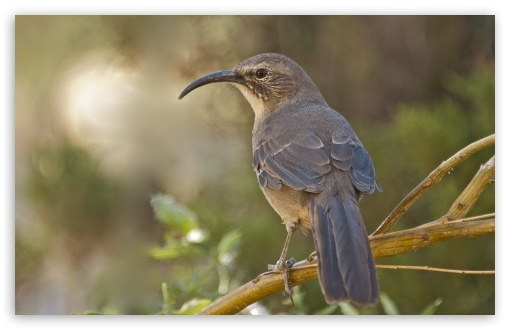California Thrasher Bird ❤ 4K UHD Wallpaper for Wide 16:10 5:3 Widescreen WHXGA WQXGA WUXGA WXGA WGA ; 4K UHD 16:9 Ultra High Definition 2160p 1440p 1080p 900p 720p ; UHD 16:9 2160p 1440p 1080p 900p 720p ; Standard 4:3 5:4 3:2 Fullscreen UXGA XGA SVGA QSXGA SXGA DVGA HVGA HQVGA ( Apple PowerBook G4 iPhone 4 3G 3GS iPod Touch ) ; Tablet 1:1 ; iPad 1/2/Mini ; Mobile 4:3 5:3 3:2 16:9 5:4 - UXGA XGA SVGA WGA DVGA HVGA HQVGA ( Apple PowerBook G4 iPhone 4 3G 3GS iPod Touch ) 2160p 1440p 1080p 900p 720p QSXGA SXGA ;