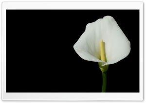 Calla HD Wide Wallpaper for Widescreen