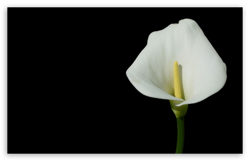 Calla HD wallpaper for Wide 16:10 5:3 Widescreen WHXGA WQXGA WUXGA WXGA WGA ; HD 16:9 High Definition WQHD QWXGA 1080p 900p 720p QHD nHD ; Standard 4:3 5:4 3:2 Fullscreen UXGA XGA SVGA QSXGA SXGA DVGA HVGA HQVGA devices ( Apple PowerBook G4 iPhone 4 3G 3GS iPod Touch ) ; Tablet 1:1 ; iPad 1/2/Mini ; Mobile 4:3 5:3 3:2 16:9 5:4 - UXGA XGA SVGA WGA DVGA HVGA HQVGA devices ( Apple PowerBook G4 iPhone 4 3G 3GS iPod Touch ) WQHD QWXGA 1080p 900p 720p QHD nHD QSXGA SXGA ;