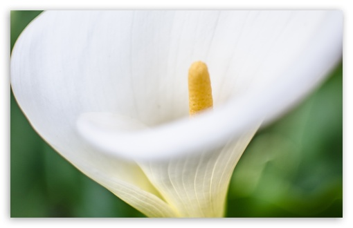 Calla ❤ 4K UHD Wallpaper for Wide 16:10 5:3 Widescreen WHXGA WQXGA WUXGA WXGA WGA ; 4K UHD 16:9 Ultra High Definition 2160p 1440p 1080p 900p 720p ; Standard 4:3 5:4 3:2 Fullscreen UXGA XGA SVGA QSXGA SXGA DVGA HVGA HQVGA ( Apple PowerBook G4 iPhone 4 3G 3GS iPod Touch ) ; Smartphone 5:3 WGA ; Tablet 1:1 ; iPad 1/2/Mini ; Mobile 4:3 5:3 3:2 16:9 5:4 - UXGA XGA SVGA WGA DVGA HVGA HQVGA ( Apple PowerBook G4 iPhone 4 3G 3GS iPod Touch ) 2160p 1440p 1080p 900p 720p QSXGA SXGA ;