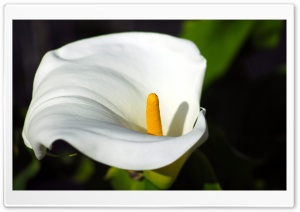 Calla Flower Macro HD Wide Wallpaper for Widescreen