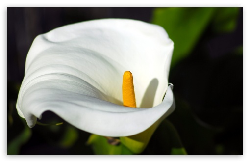 Calla Flower Macro HD wallpaper for Wide 16:10 5:3 Widescreen WHXGA WQXGA WUXGA WXGA WGA ; HD 16:9 High Definition WQHD QWXGA 1080p 900p 720p QHD nHD ; UHD 16:9 WQHD QWXGA 1080p 900p 720p QHD nHD ; Standard 4:3 5:4 3:2 Fullscreen UXGA XGA SVGA QSXGA SXGA DVGA HVGA HQVGA devices ( Apple PowerBook G4 iPhone 4 3G 3GS iPod Touch ) ; iPad 1/2/Mini ; Mobile 4:3 5:3 3:2 16:9 5:4 - UXGA XGA SVGA WGA DVGA HVGA HQVGA devices ( Apple PowerBook G4 iPhone 4 3G 3GS iPod Touch ) WQHD QWXGA 1080p 900p 720p QHD nHD QSXGA SXGA ;