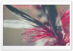 Callistemon Citrinus Flowers HD Wide Wallpaper for Widescreen