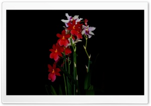Cambria Orchids HD Wide Wallpaper for Widescreen